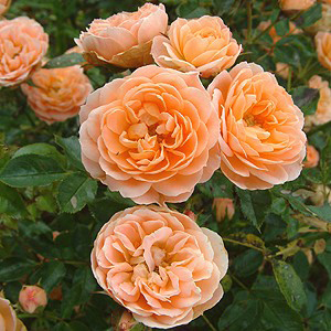This Delightfully Fragrant Little Patio Rose From 1987 Was Rose Of The Year  In 1988. It Features Very Striking Blooms Of Soft Peachy Apricot Borne  Singly ...